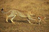 Guépard chassant une jeune gazelle Kenya ; animal le plus rapide