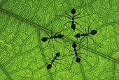 Weaver ants on a leaf Singapore