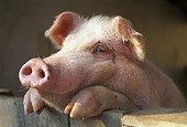 Porc debout contre une barrière dans une ferme