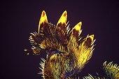 European mole cricket hind leg Zoom X20