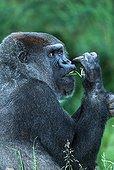 Gorille de la plaine de l'Ouest mangeant Afrique ; Régime alimentaire constitué de feuilles, de tiges et de fruits