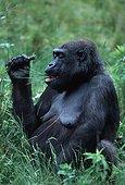 Gorille de la plaine de l'Ouest  mangeant Afrique ; Régime alimentaire constitué principalement de feuilles, de tiges et de fruits