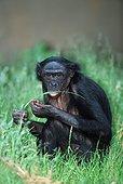 Chimpanzé nain ou Bonobo mangeant ; Régime alimentaire varié