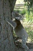 Koala commençant à grimper à un arbre Australie
