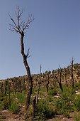 Forêt un an après l'incendie  PN El Feidja  Tunisie