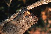 Maki roux mangeant Madagascar ; Régime alimentaire constitué principalement de fruits, de feuilles et de fleurs