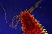 Head of a polychete worm Zoom x20
