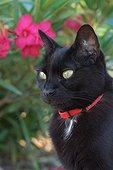 Chat noir portant un collier anti-puces dans le jardin