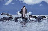 Humpback Whales predating & eating in group Alaska USA