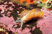 Nudibranche Californie USA