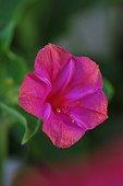 Belle-de-nuit rose