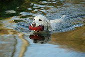 Retriever golden swimming to bring back an object France