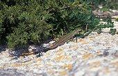 Lézard des ruines sur un rocher Corse France
