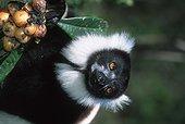 Maki varié noir et blanc Madagascar ; Régime alimentaire constitué principalement de fruits ainsi que de nectar, de graines et de feuilles
