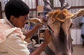 Femme taxidermiste travaillant sur un mammifère Namibie