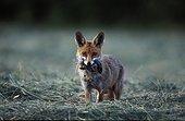 Renard roux tenant une proie dans sa gueule Vosges France ; Prairie fauchée