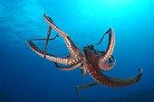 Day octopus Hawaii USA