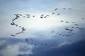 Tundra Bean Goose in flight Neuchatel lake Switzerland