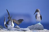 Pair of Blue-footed Boobies courting Galapagos Ecuador