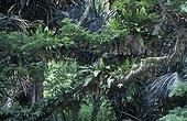 Forêt tropicale humide Parc National Kuala Selangor Malaisie ; Forêt secondaire