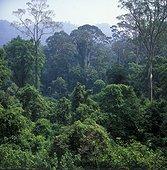 Forêt tropicale humide Parc National Gunung Mulu Sabah ; Malaisie. Pousse secondaire après une coupe sélective