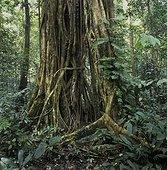 Forêt tropicale humide Parc National Gunung Mulu Malaisie ; Racine de Ficus sur un tronc
