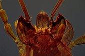 Mole cricket mouth pieces Zoom x20
