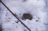 Campagnol des champs à l'entrée de son terrier en hiver ; Graines de tournesol France