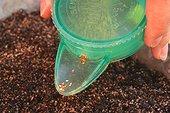Semis de graines de campanules ; Plante bisannuelle