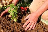 Repiquage de Basilic ; Remettre la terre autour du plant