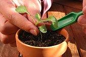 Repiquage des bisannuelles ; Enfoncer délicatement les plantules