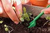 Repiquage des bisannuelles ; Retirer doucement les plantules