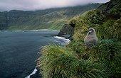 Poussin albatros fuligineux à dos sombre sur son nid