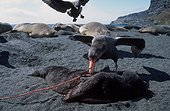 Northern Giant-Petrel (Macronectes halli) eatin an Elephant seal