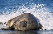 """Eléphant de mer mâle sur une plage Archipel de Crozet ; En pleine période de reproduction, ce mâle n'a pas de harem, aussi attend-t-il une défaillance du """"pacha"""" d'un harem, pour saisir sa chance"""