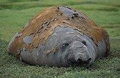 Eléphant de mer mâle en train de muer Archipel de Crozet