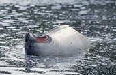 Petite femelle d'éléphant de mer dans un lac Crozet ; En bordure de plage. C'est la mue des manchots royaux, les vieilles plumes blanches perdues qui forment ces dépots blancs à la surface de l'eau.