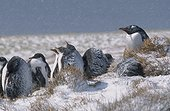 Groupe de poussins manchots papou se protégeant de la neige ; Un adulte est présent pour les défendre contre les prédateurs