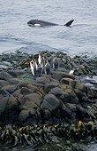 Femelle orque rodant autour de manchots royaux Crozet ; Un manchot papou est également présent.
