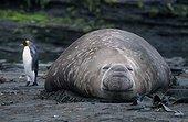 Manchot royal et  éléphant de mer mâle Archipel Crozet ; Mâle éléphant de mer reproducteur, venu s'approprier une partie de la plage, quelques semaines avant l'arrivée des femelles sur le site de reproduction. Un manchot royal contourne prudemment l'obstacle.