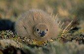 Poussin labbe sub-antarctique Archipel Crozet ; Ce poussin de skua est thermiquement autonome depuis quelques heures et prends son premier bain de soleil, à quelque distance du nid et de ses parents.
