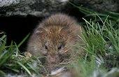 Rat adulte se nourissant près de son trou Archipel Crozet