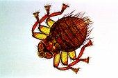 Bee louse Zoom x40