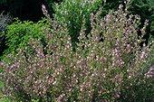 Massif de Bugrane en fleur ; Ononis spinosa