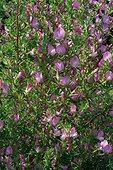 Bugrane en fleur ; Ononis spinosa