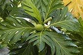 Fruit comestible de l'arbre à pain Guadeloupe