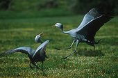 Blue crane Courtship display Endemic to South Africa
