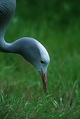Blue crane  Endemic to South Africa