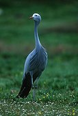 Blue crane Endemic to South Africa.