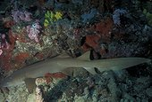 Requin nourrice fauve Mer Rouge Djibouti